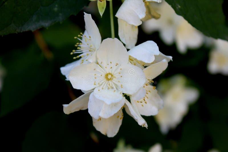 Flores brancas do jasmim com close-up verde das folhas no preto fotos de stock