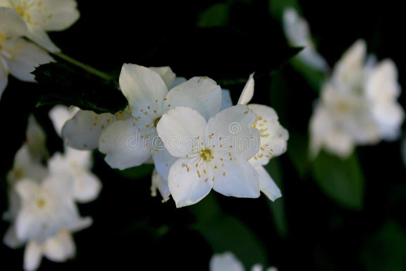 Flores brancas do jasmim com close-up verde das folhas no preto fotografia de stock