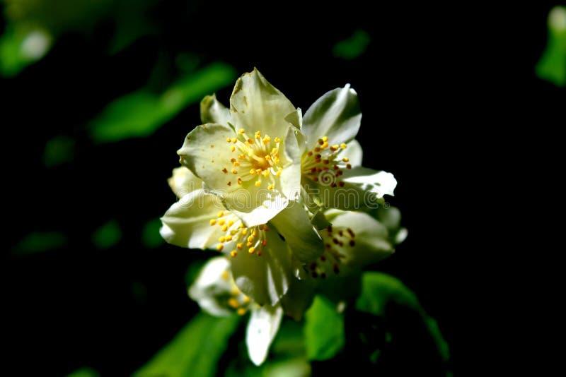 Flores brancas do jasmim com close-up verde das folhas no preto fotografia de stock royalty free