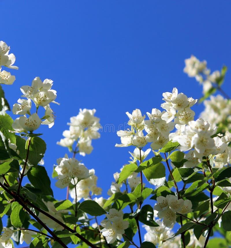 Flores brancas do jasmim com folhas verdes em um fundo do céu azul fotografia de stock royalty free