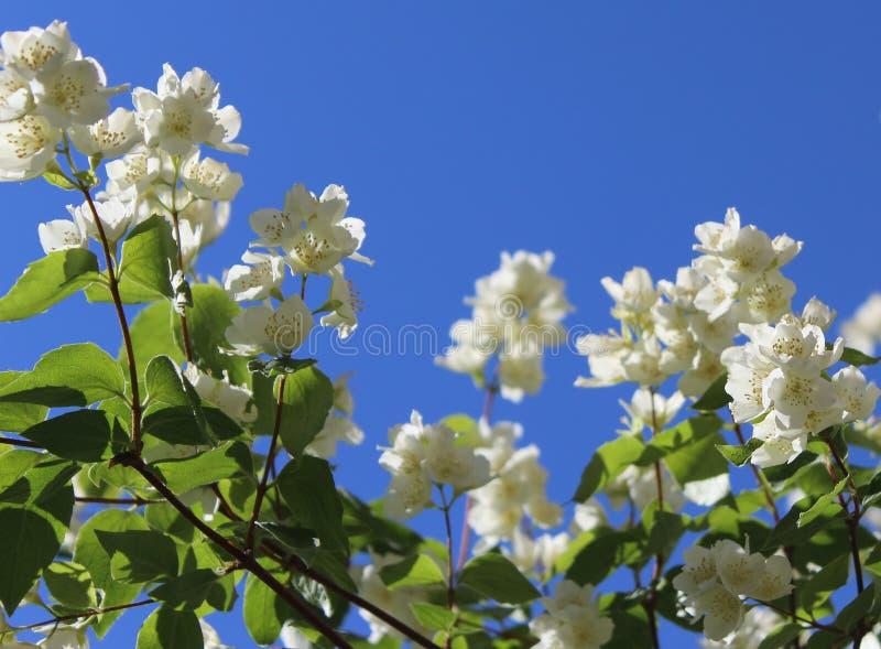 Flores brancas do jasmim com folhas verdes em um fundo do céu azul fotografia de stock