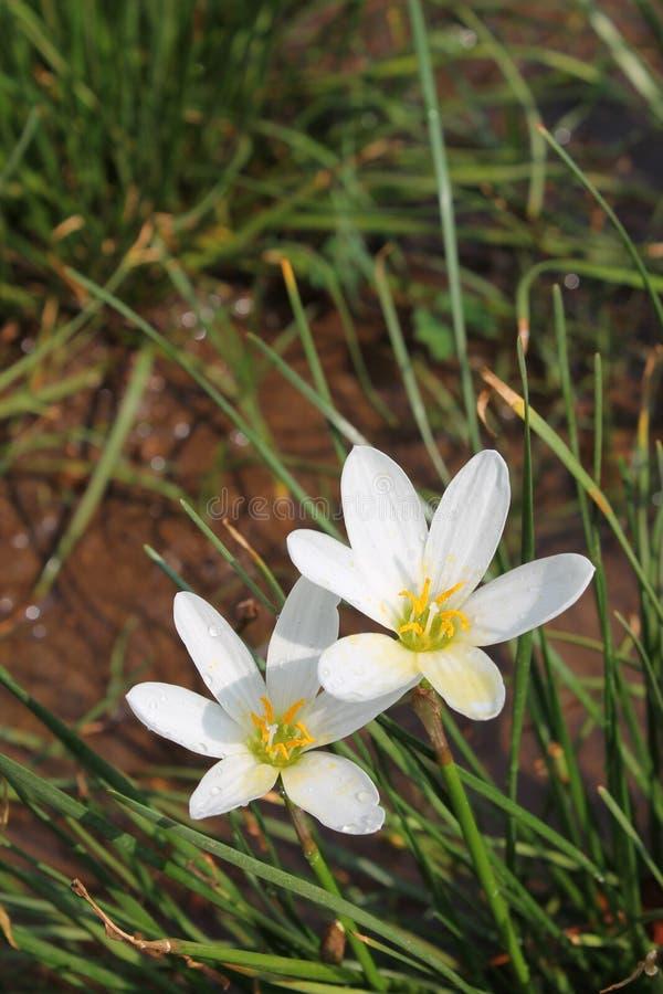 Flores brancas do lírio da chuva fotos de stock royalty free