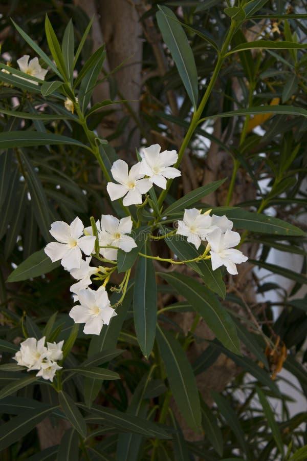 Flores brancas do oleandro no tiro do close-up fotos de stock royalty free