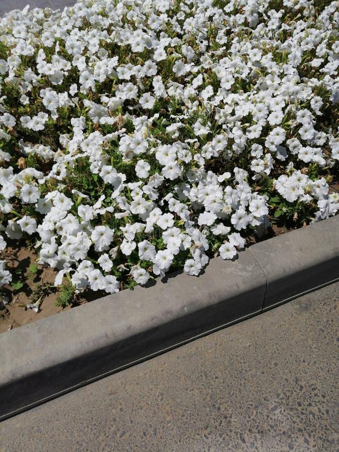 Flores brancas do petúnia pela estrada foto de stock