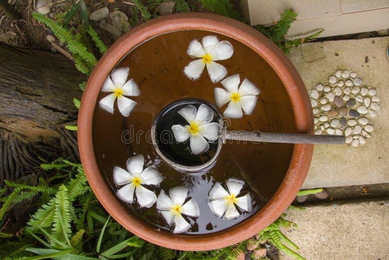 Flores brancas do plumeria em uns potenciômetros da terracota foto de stock royalty free