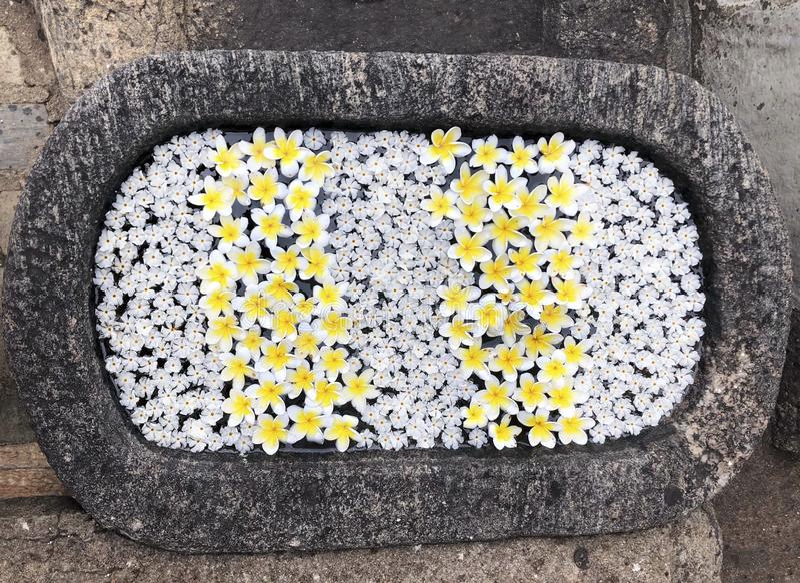 Flores brancas do Plumeria que flutuam na bacia da água em um templo imagens de stock