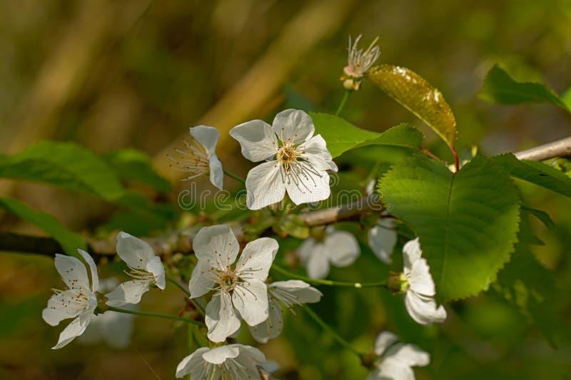 Flores brancas do prunus, foco seletivo imagem de stock royalty free