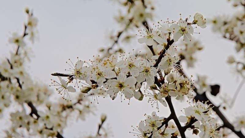 Flores brancas do prunus, foco seletivo no fundo claro foto de stock royalty free