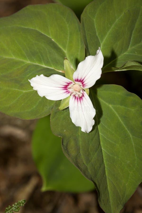 Flores brancas do trillium pintado em Newbury, New Hampshire foto de stock royalty free