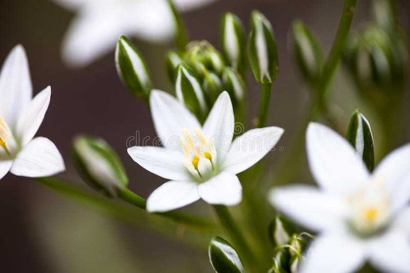Flores brancas do umbellatum do Ornithogalum imagem de stock royalty free