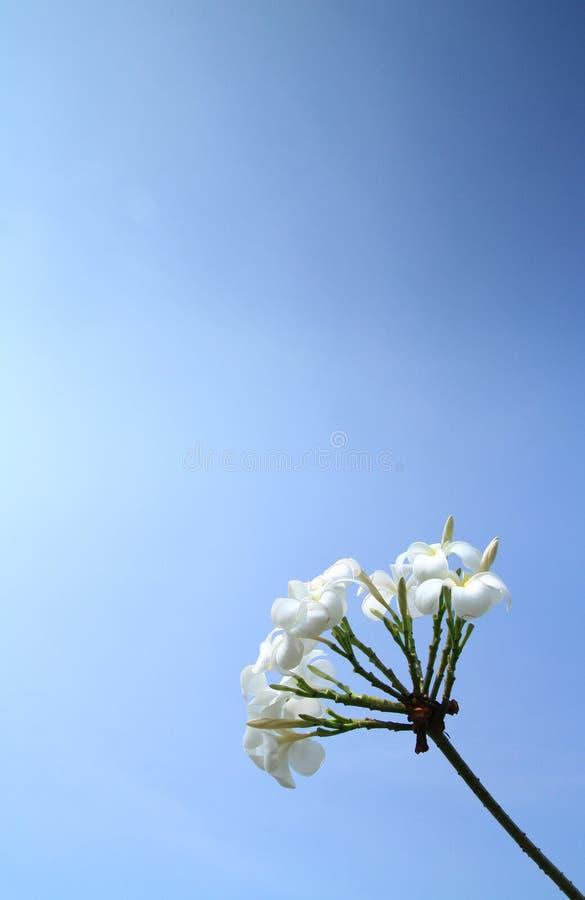 Flores brancas doces com o céu azul desobstruído fotografia de stock royalty free