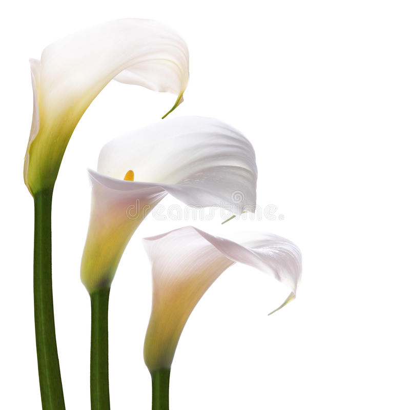Flores brancas dos callas fotografia de stock