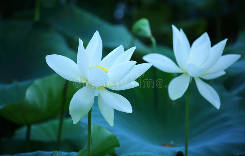 Flores brancas dos lótus fotos de stock royalty free