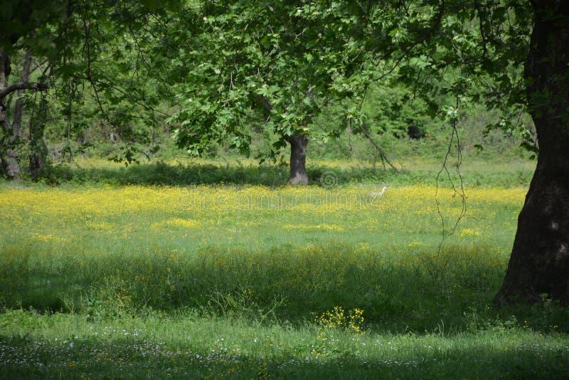 Flores brancas e árvore da mola em Turquia imagens de stock