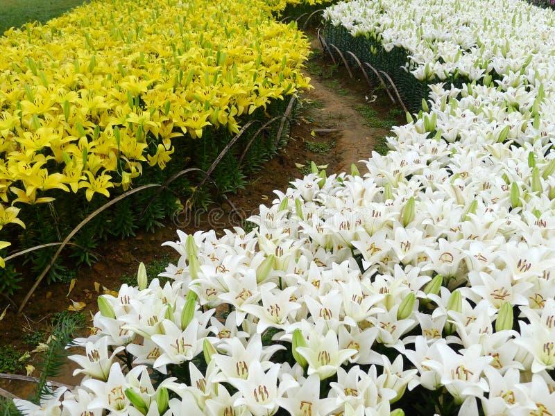 Flores brancas e amarelas do lírio foto de stock