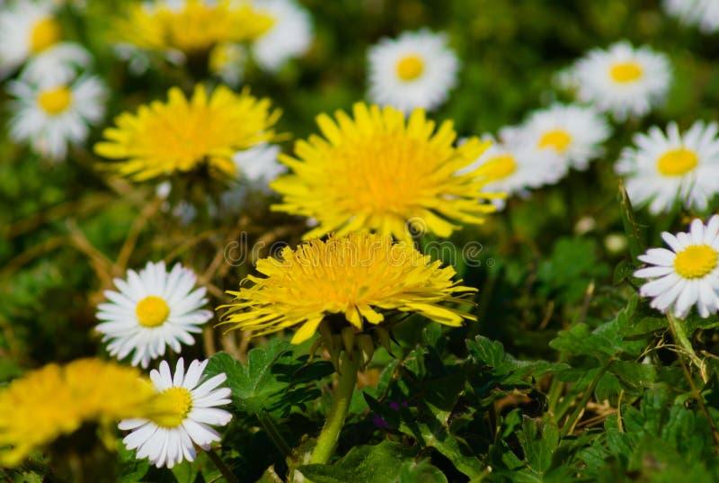 Flores brancas e amarelas no verão fotografia de stock