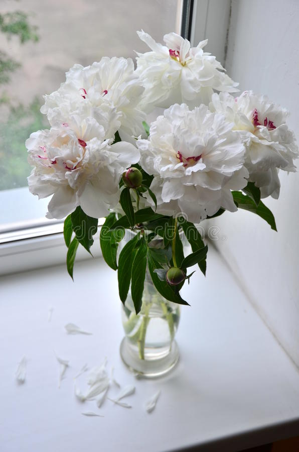 Flores brancas e cor-de-rosa da peônia fotografia de stock