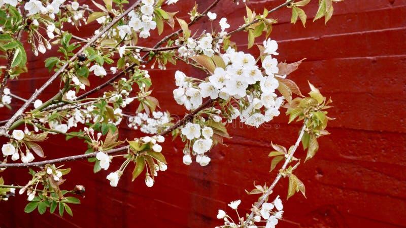Flores brancas e parede vermelha fotografia de stock