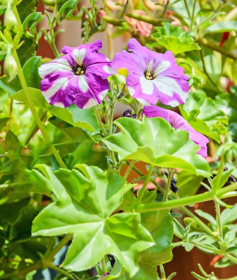 Flores brancas e roxas do purpurea do Ipomoea, corriola comum, ascendente exterior, próximo imagens de stock royalty free