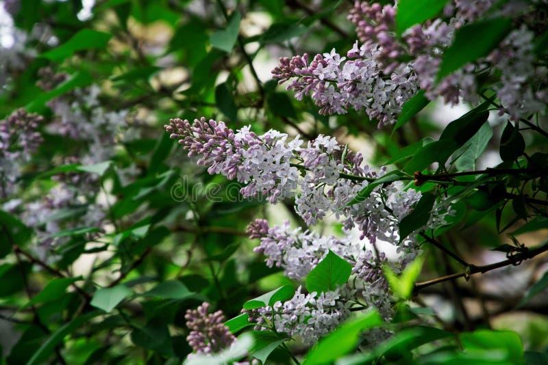 Flores brancas e roxas ensolarados do lilás híbrido entre as folhas verdes Natureza e seu encanto fotos de stock