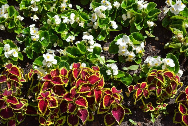 Flores brancas e vermelhas das camas de flor Fundo natural Plantas decorativas do jardim imagem de stock