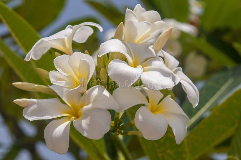 Flores brancas em uma árvore do frangipani, Plumeria branco, uma planta tropical decorativa, Tailândia imagem de stock