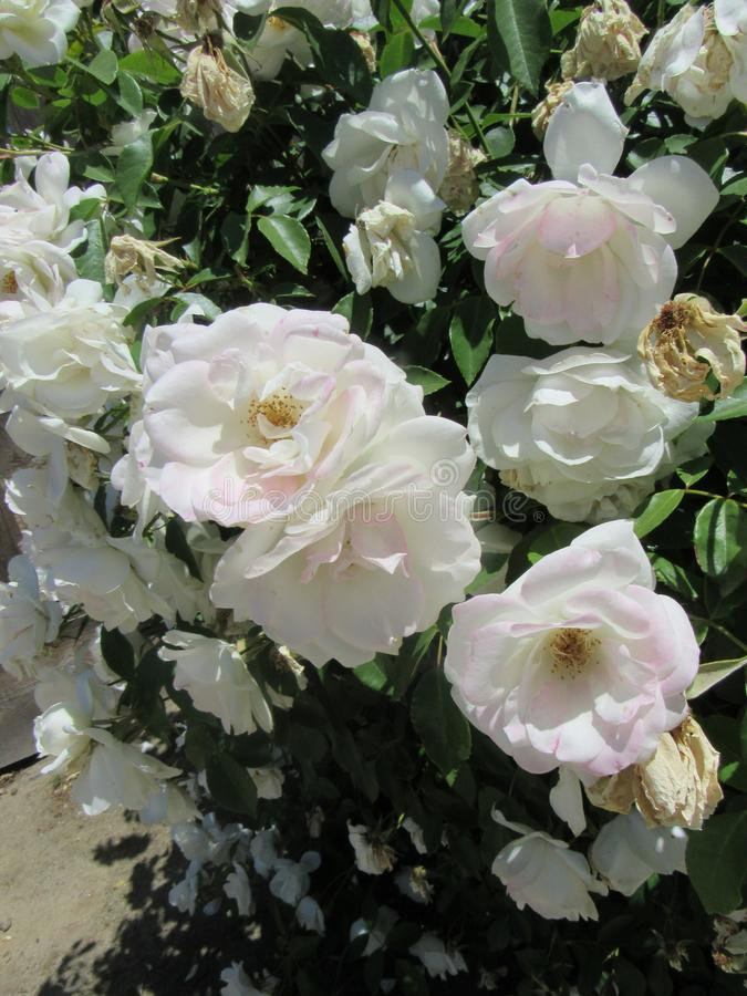 Flores brancas estéticas foto de stock