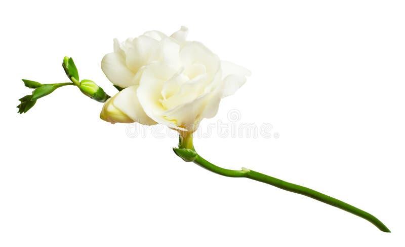 Flores brancas frescas da frésia foto de stock royalty free