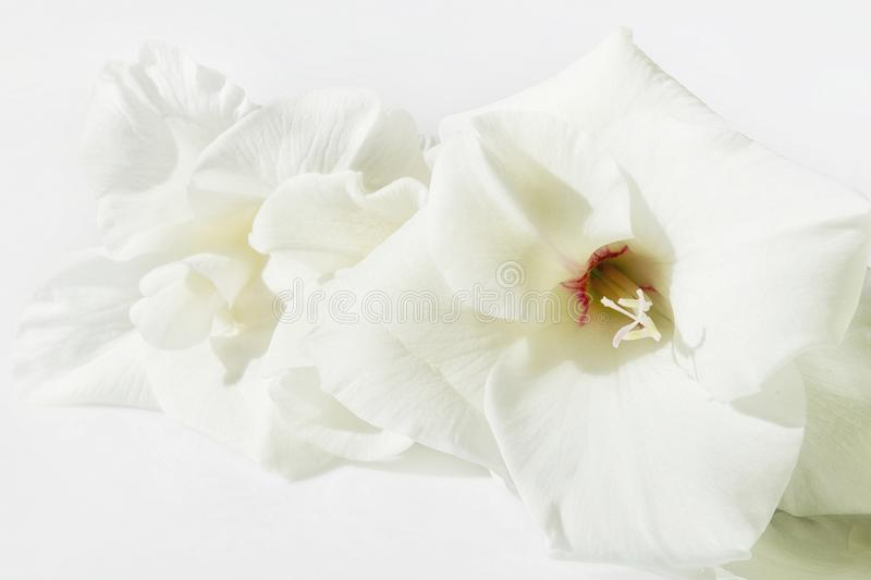 Flores brancas gladióbulas imagem de stock royalty free
