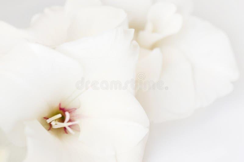 Flores brancas gladióbulas fotografia de stock royalty free