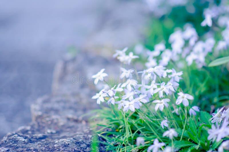 Flores brancas minúsculas com as seis pétalas que florescem na borda do jardim em Japão foto de stock royalty free