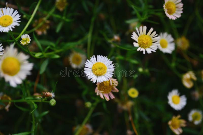 Flores brancas minúsculas com um obscuro fotografia de stock royalty free