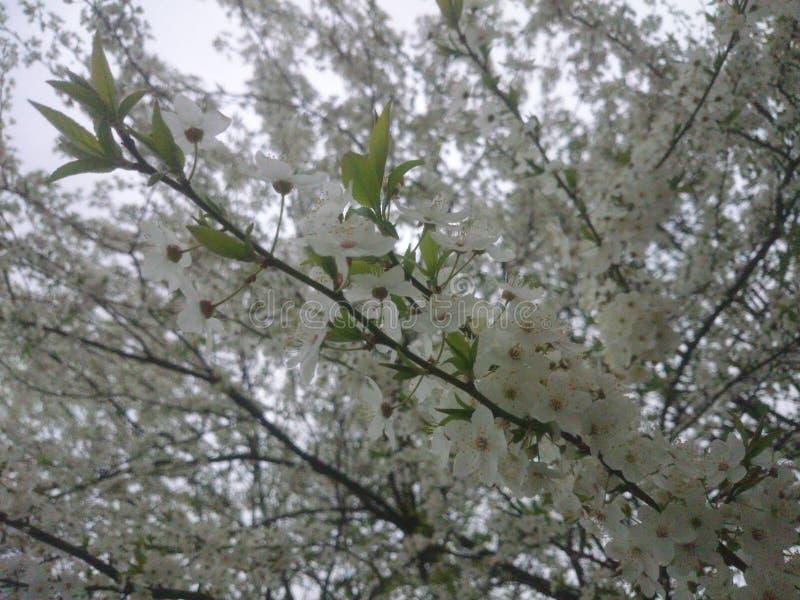 Flores brancas na árvore de ameixa da cereja imagens de stock royalty free