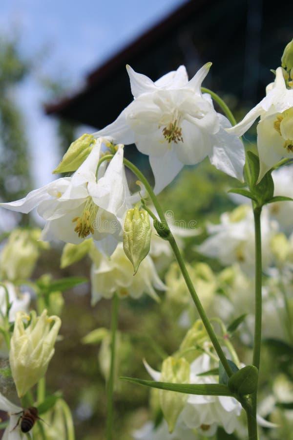 Flores brancas na frente da casa fotografia de stock