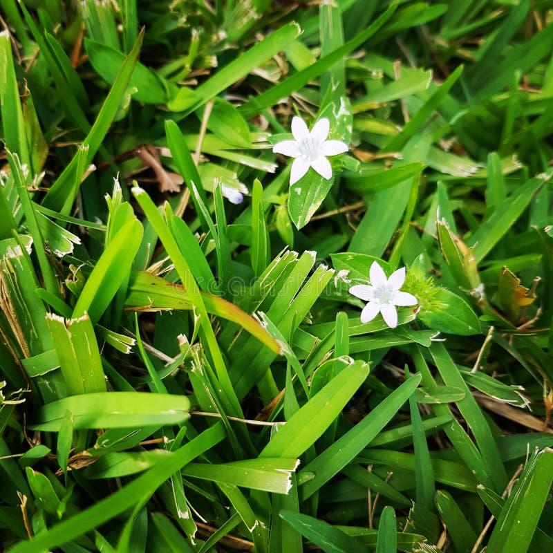 Flores brancas na grama imagens de stock royalty free