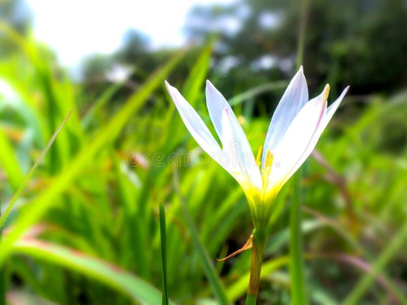 Flores brancas na natureza 001 imagem de stock