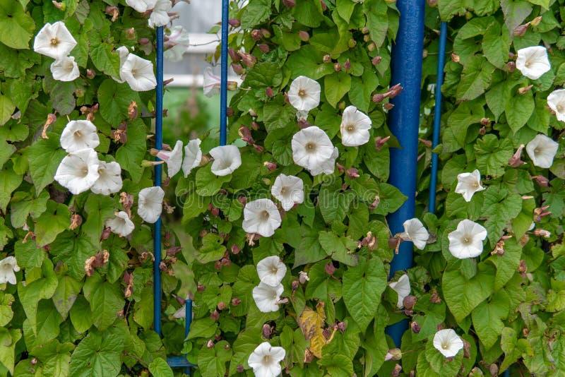Flores brancas na videira foto de stock royalty free