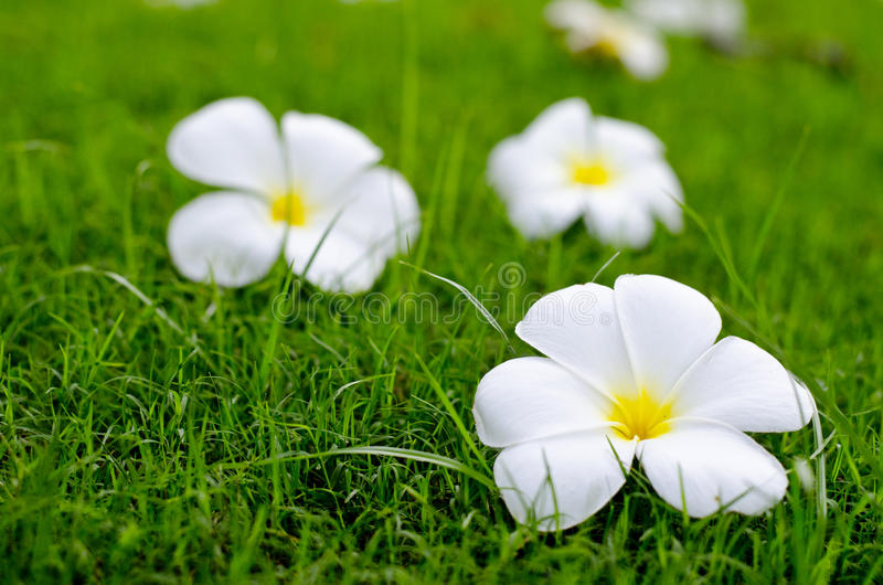 Flores brancas no campo verde imagens de stock royalty free