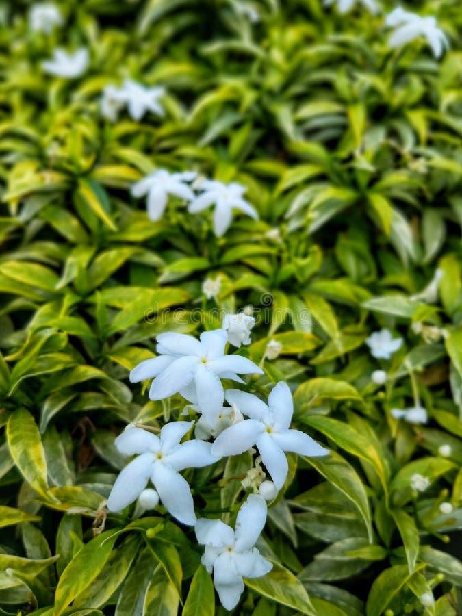 Flores brancas ou jasminoides da gardênia plantados no jardim fotografia de stock royalty free
