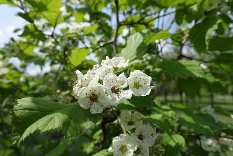 5 flores brancas peladas de Crataegus submollis fotografia de stock royalty free