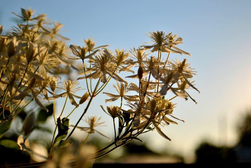 Flores brancas pequenas da clematite em um fundo borrado das folhas verdes e do céu azul foto de stock