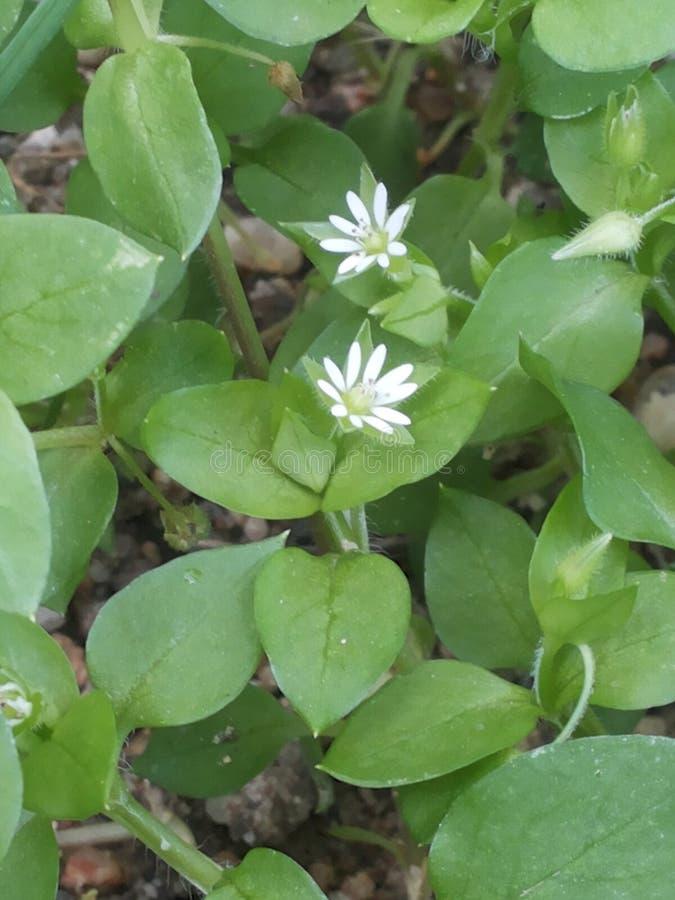 Flores brancas pequenas da mola foto de stock