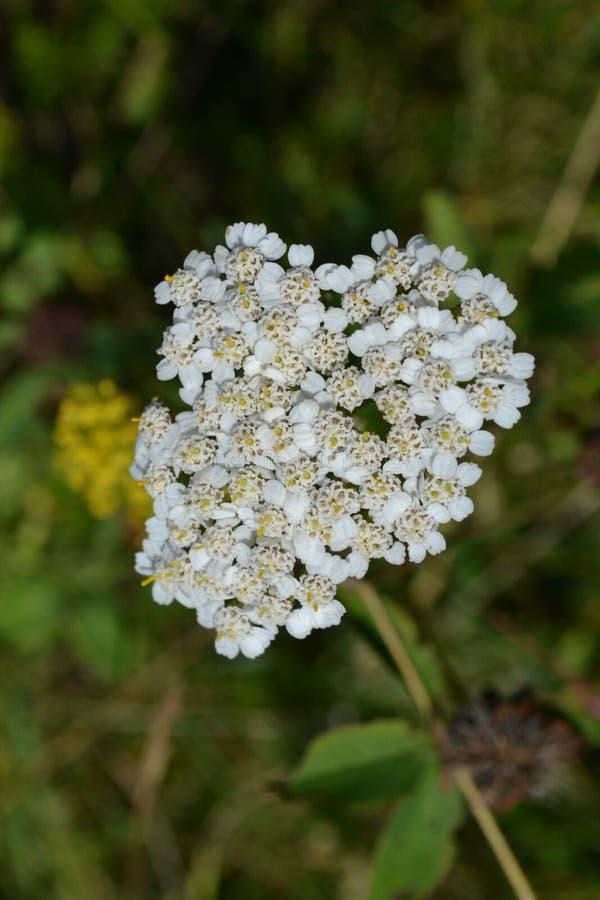 Flores brancas pequenas em um fundo da grama verde fotos de stock royalty free