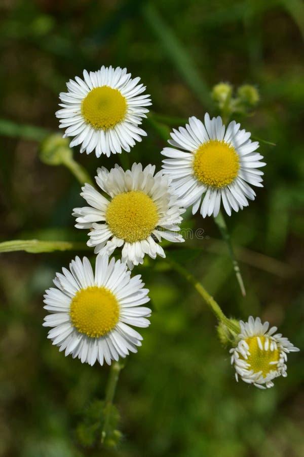 Flores brancas pequenas em um fundo da grama verde em um prado fotos de stock royalty free