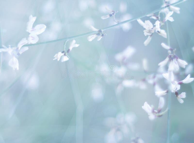 Flores brancas pequenas no tonificado no macro azul e cor-de-rosa macio delicado do close-up do fundo fora Flo do molde da beira  imagem de stock royalty free