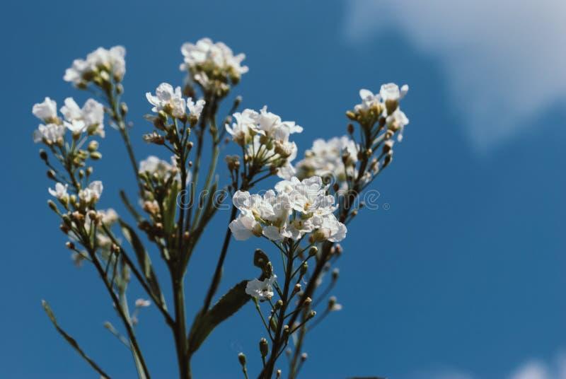 Flores brancas perfeitas com céu azul imagens de stock royalty free