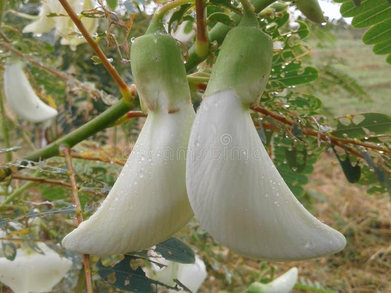 Flores brancas tailandesas imagem de stock
