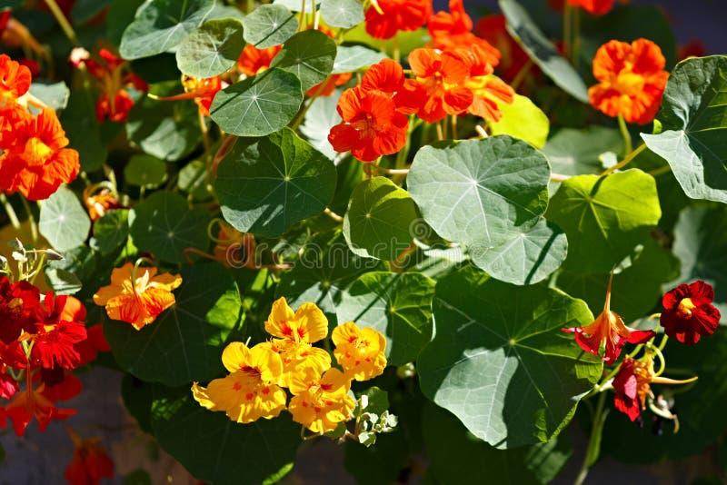 Flores brilhantes da chagas na cama do jardim imagem de stock royalty free