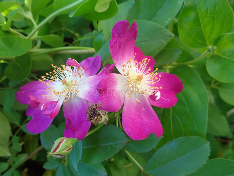 Flores brilhantes do briar na folha verde fotografia de stock royalty free