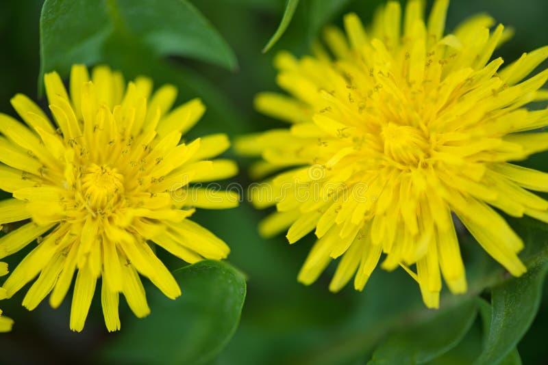 Flores brilhantes do dandellion fotografia de stock